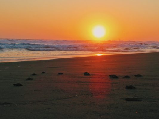 There are baby turtles crawling towards the ocean with the sun setting in the background
