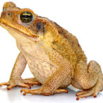 Cane Toad image by Sam Fraser-Smith via Wikimedia Commons